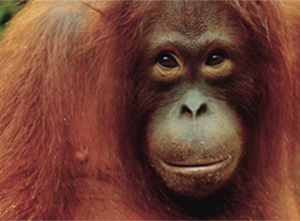 Orangutans star in new TVC for Coconut Oil Spread